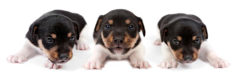 Drei Welpen Hundeschule Pro Canis