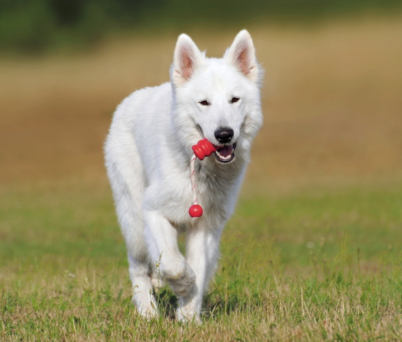 Berger blanc suisse  Hundeschule Pro Canis