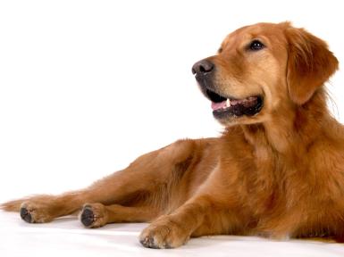 Golden Retriever Hundeschule Pro Canis
